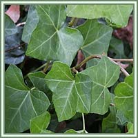 Common_Ivy